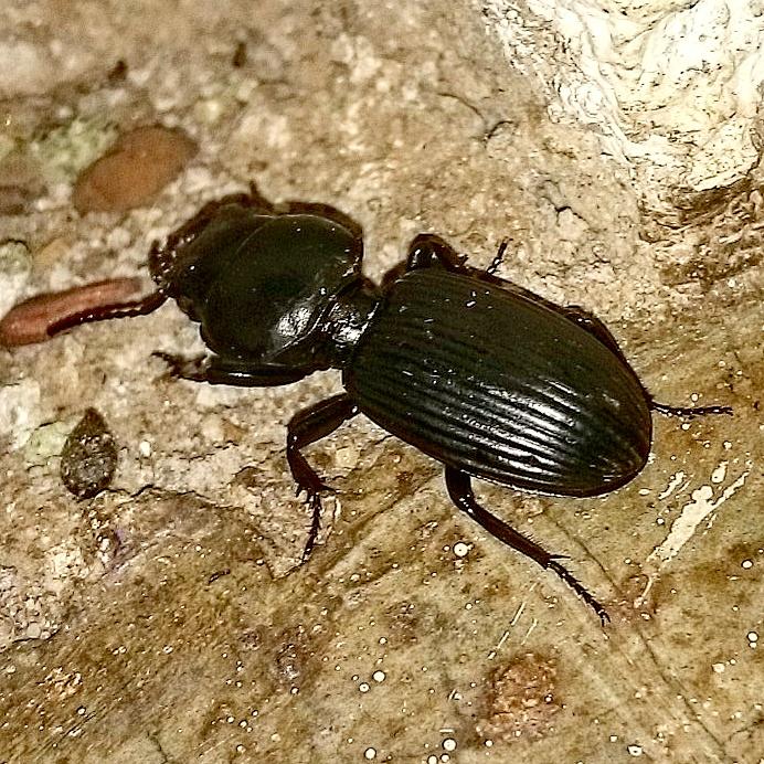 An Introduction to Zimbabwean Beetles – Benjamin M Kelly